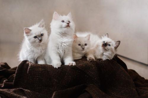 ふかふかの子猫たち