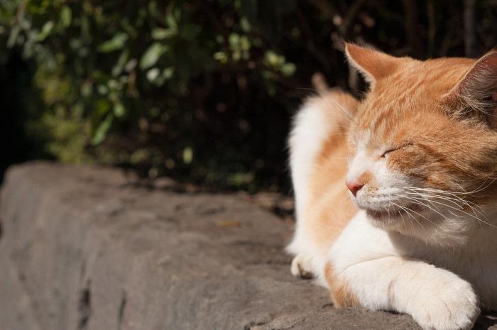 塀で寝ている猫