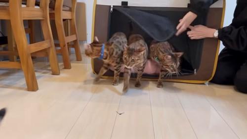 移動用のケージから出る猫たち
