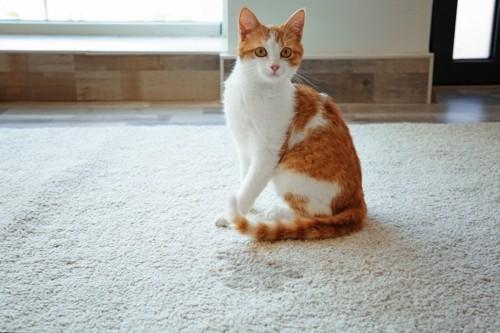 カーペットの上に座る猫