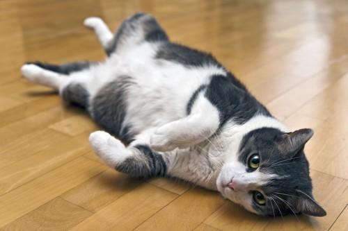 フローリングに横になる猫