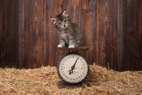 体重を測る猫