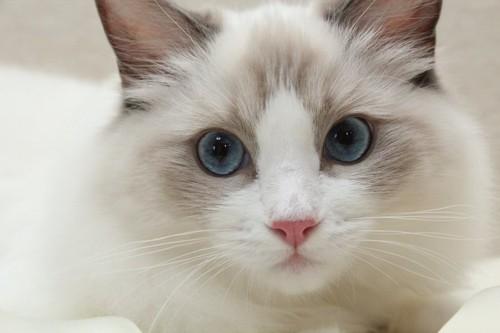 青いきれいな瞳の長毛猫