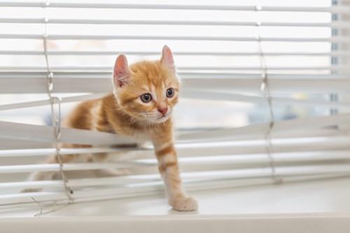 ブラインドをくぐっている子猫