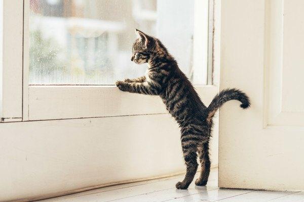 窓の外を見る子猫