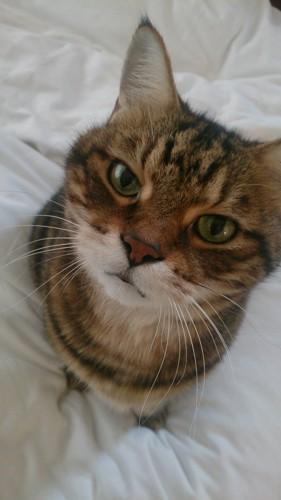 トラ猫 しんちゃん