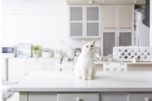 キッチンにいるオッドアイの白猫