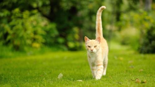 尻尾をまっすぐに立てて近づく猫