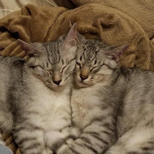 双子ポーズでお昼寝する猫