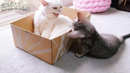 箱の中で口を開けている白猫
