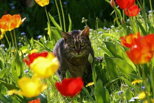 チューリップ畑にいる猫