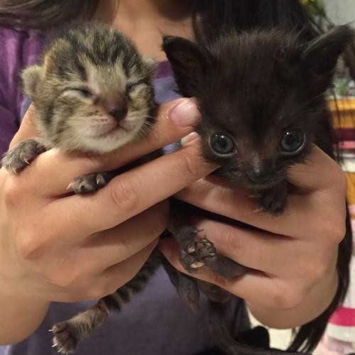 普通の子猫とナキアの頭の大きさの違い