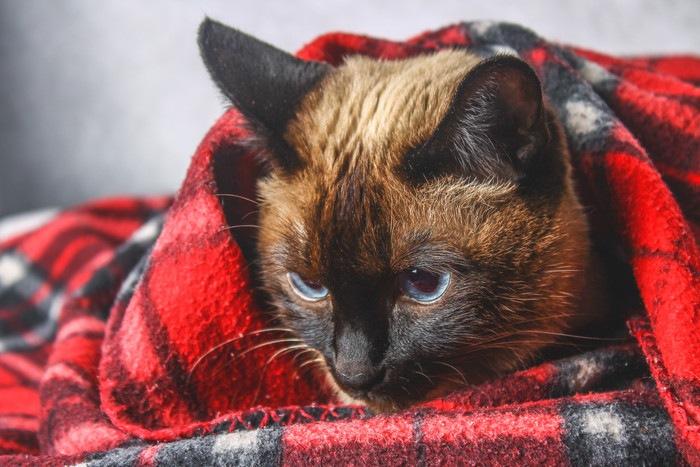 猫風邪の猫