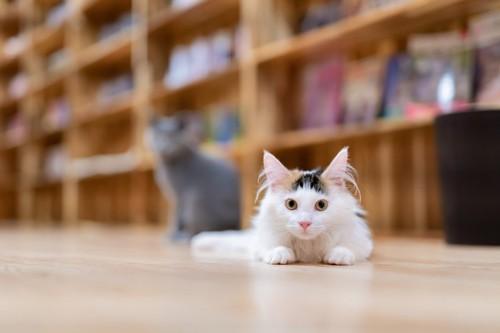 床でこちらを見る長毛猫