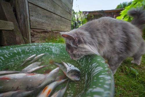 お魚を眺める猫