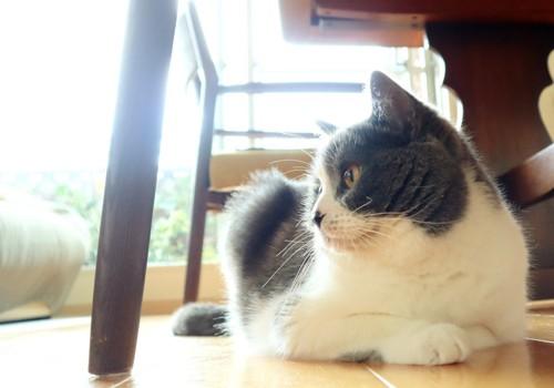 椅子の下で横を向いて座る猫