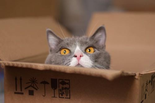 ダンボールからびっくりする猫