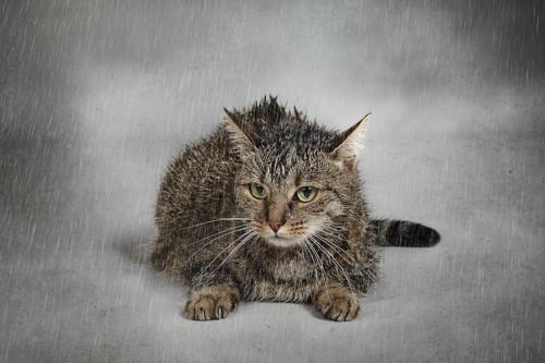 雨降りの中で濡れた猫