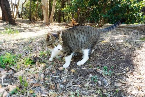 野外でうろうろする猫