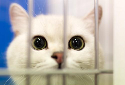 ケージから覗く白猫