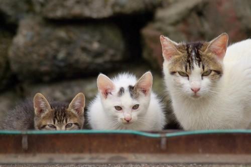 子猫2匹と親猫