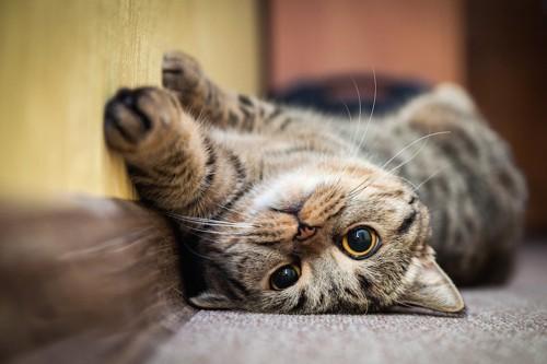 こちらを見つめて寝転ぶ猫