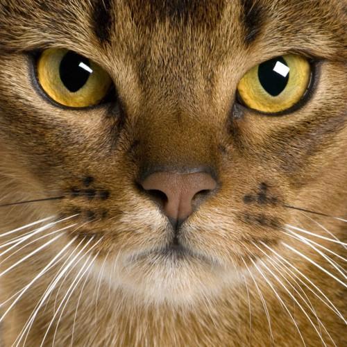 真剣な猫の顔どアップ