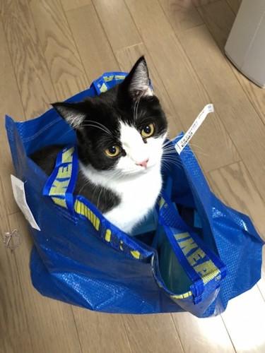 IKEAの袋の中にいるマンチカン