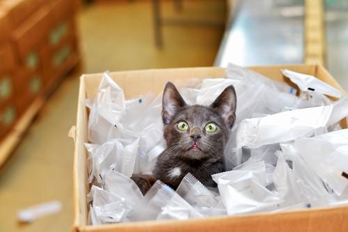 梱包材の中に入って興奮している黒猫