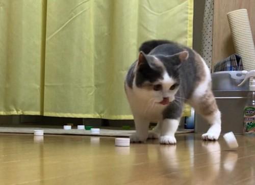 ペットボトルのキャップで遊ぶハチワレ猫
