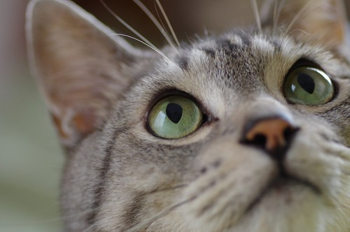 上を見る猫の目元アップ