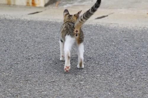キジトラ白の子猫の後ろ姿