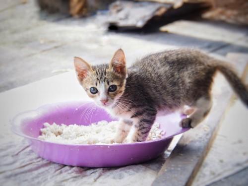 紫のご飯皿に乗るキジトラ白の子猫