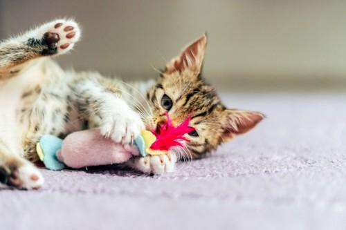 寝転んでおもちゃをかじる子猫
