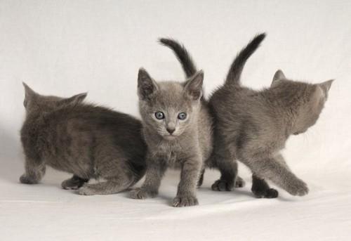 寄り添う3匹のロシアンブルーの子猫