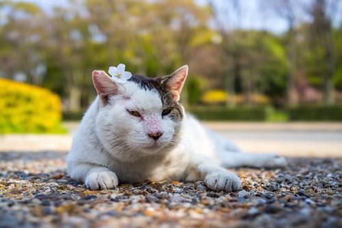 頭に桜の花びらを乗せた野良猫