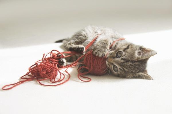 毛糸を噛む子猫