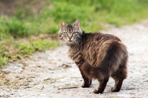 振り返るタヌキのような猫