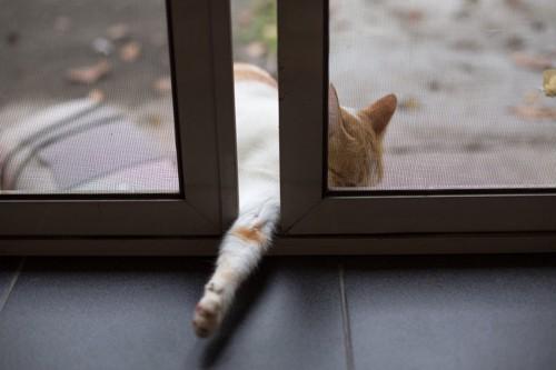 窓を開ける猫