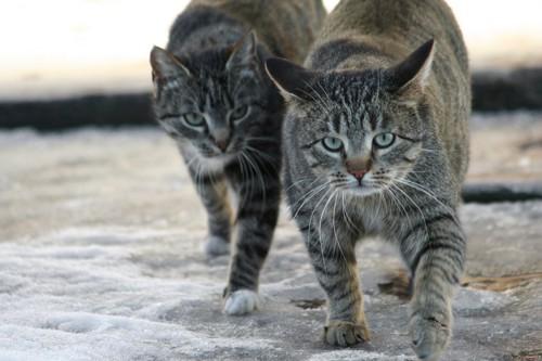 近寄ってくる二匹の猫