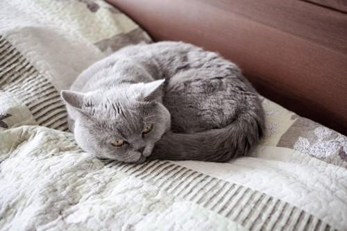 丸くなる灰色の猫
