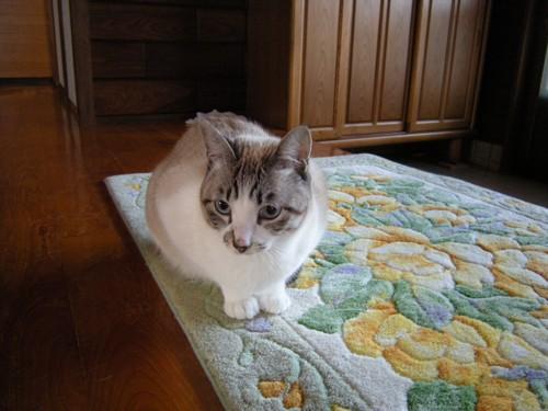 白グレー猫ちゃん