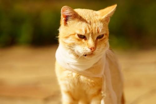 のどに包帯を巻く猫