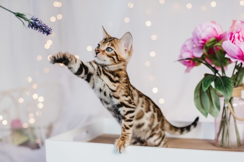 花にじゃれるベンガル子猫