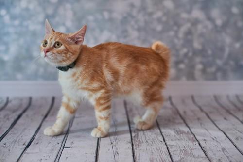 活発なアメリカンボブテイルの子猫