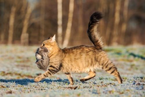子猫を咥えて運ぶ母猫