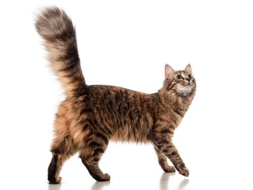 尻尾をピンと立てて走ろうとする猫