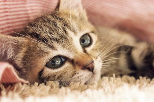 眠そうにこちらを見つめる子猫