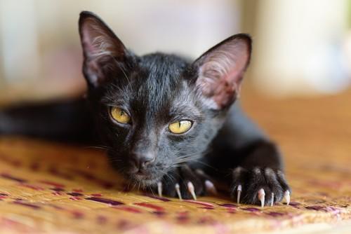 鋭い爪を出している黒猫
