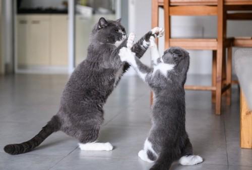 立って喧嘩をする猫